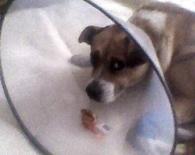 Small pobity pies z dobroszyc siepomaga